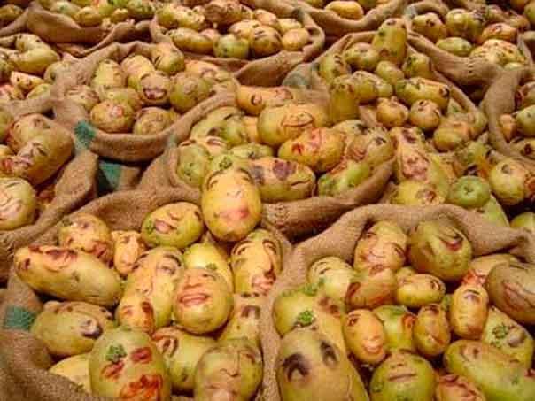 Вред картофеля для организма человека