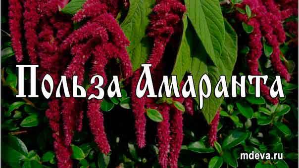 Польза Амаранта ( или прощай , голод и болезни)