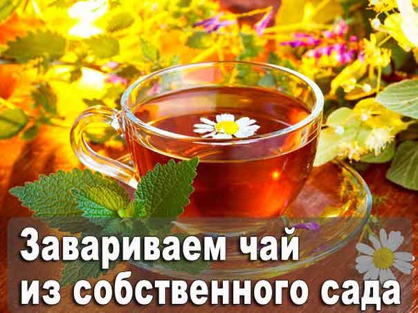 Как заваривать чай из собственного сада